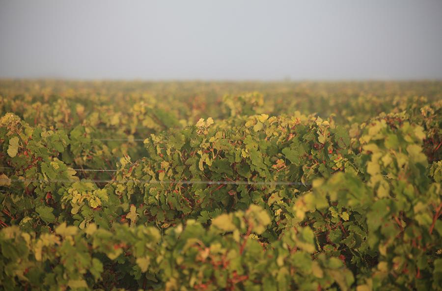 Vendanges manuelles 2014 au Vignoble des Hauts de Talmont