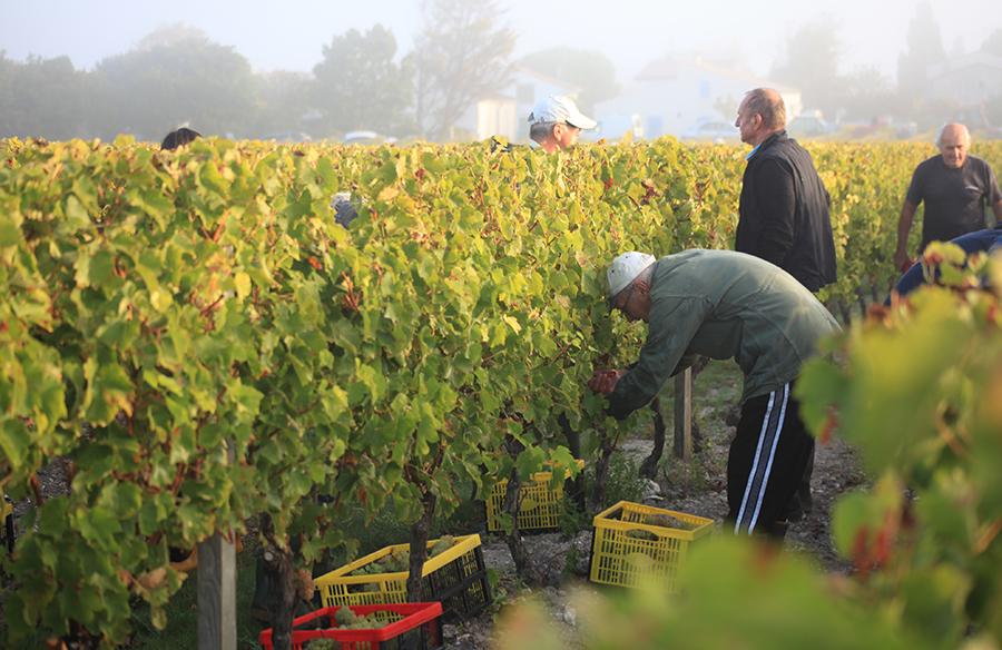 Vendanges en Blanc au Vignobles des Hauts de Talmont